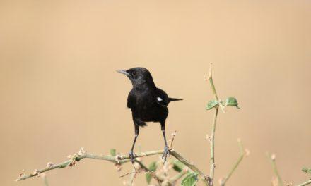 Oplev de mange smukke fuglearter i Sydafrika